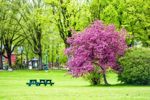 Colorful pink or purple crabapple tree in green plaines d'Abraham park in morning during summer in Quebec City, Canada